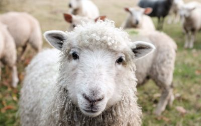 Pecorella Peluche Ewan